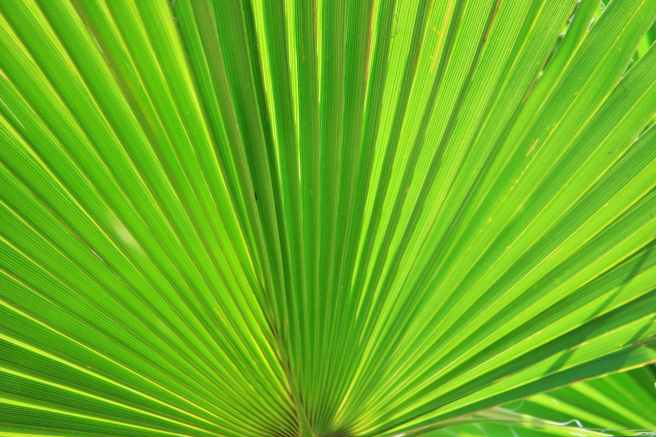 light leaf green palm